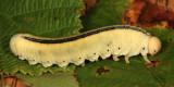 Elm Sawfly larva - Cimbex americana