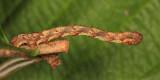 6863 - Gray Spruce Looper - Caripeta divisata