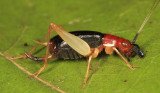 Red-headed Bush Cricket - Phyllopalpus pulchellus (female)