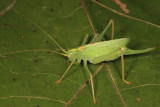 Quiet-calling Katydids - Meconematinae
