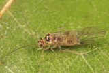 Shaggy Psocids - Dasydemellidae