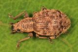 Sciaphilus asperatus