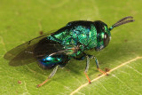 Chalcid Wasps - Perilampidae