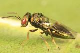Chalcid Wasps - Pteromalidae