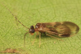 Hairy-winged Barklice - Amphipsocidae
