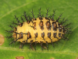 Mexican Bean Beetle (larva)- Epilachna varivestis
