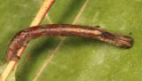 6739 - Least-marked Euchlaena - Euchlaena irraria