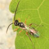 Dicaelotus sp.