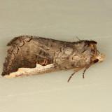 7951- White-headed Prominent - Symmerista albifrons
