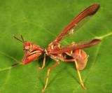 Mantidflies - Mantispidae