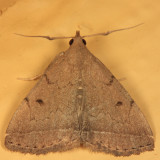 8349 - Zanclognatha protumnusalis