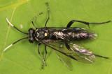 Macrophya trisyllaba