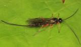 Ichneumon Wasps - Xoridinae