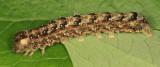 9888 - Nameless Pinion - Lithophane innominata