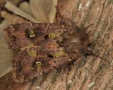 10397 - Bristly Cutworm Moth - Lacinipolia renigera