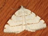 6273 - Lesser Maple Spanworm Moth - Speranza pustularia