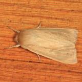 10436 - Lesser Wainscot - Mythimna oxygala