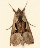 8923 - Large Looper - Autographa ampla