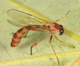 Tipulogaster glabrata
