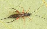 Ichneumon Wasps - Cylloceriinae