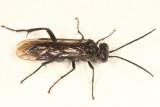 Macrophya macgillivrayi