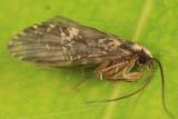Polycentropus maculatus