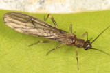 Amphinemura wui