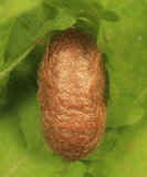 Sawfly cocoon that Exenterus amictorius emerged from
