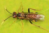 Taxonus spiculatus