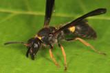 Ancistrocerus unifasciatus