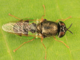 Odontomyia sp.