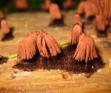 Stemonitis splendens  (Chocolate Tube Slime)