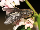 Hybomitra sodalis