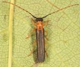 Dogwood Twig Borer - Oberea tripunctata