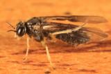 Acordulecera maculata