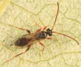 Polyaulon erythropa (female)