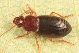 Ophonus puncticeps