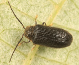 Soft-bodied Plant Beetles - Artematopodidae