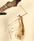 Bittacus strigosus