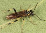 Macrophya flavicoxae
