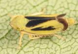 Leafhoppers genus Sorhoanus