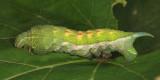 7885 - Virginia Creeper Sphinx - Darapsa myron (fifth instar)