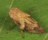 European Alder Spittlebug - Aphrophora alni
