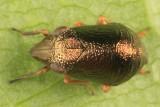 Bruchomorpha oculata