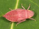 Gyponana sp. (nymph)