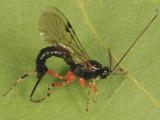 Tromatobia ovivora (female)