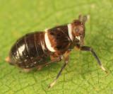 Pissonotus basalis