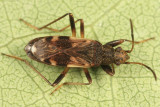 Ligyrocoris sylvestris