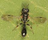 Rhopalum clavipes