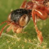 Deinodryinus atriventris